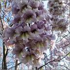 arborele-paulownia-elongata