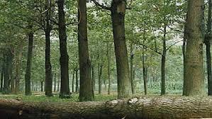 arborele-paulownia