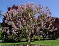 arborele paulownia utilizari